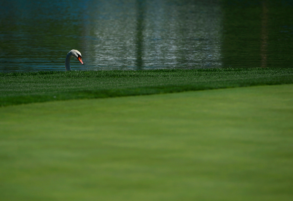 . CHERRY HILLS VILLAGE, CO. - SEPTEMBER 03:  A swan pokes it\'s head above the 17th green while munching on grass  during the FedExCup BMW Championship Pro-Am at the Cherry Hills Country Club Wednesday, September 03, 2014. (Photo By Andy Cross / The Denver Post)