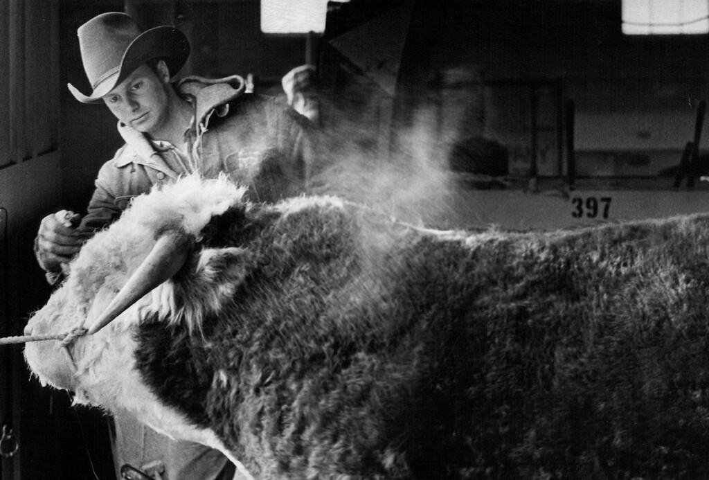 . Tom Bargen, Employe Of Paul Ridder Herefords of Callaway, Neb., is preparing a Hereford bull for competition in the National Western Stock Show. 1975. John J. Sunderland, The Denver Post