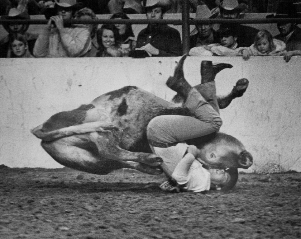 """. \""""It was a good stout steer,\"""" Sewalt said of the animal he just barely threw. Ernie Leyba, The Denver Post"""