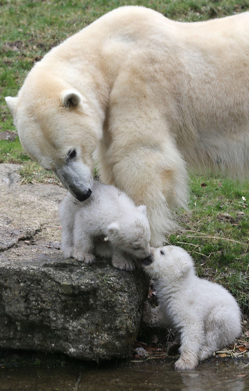 . The two 14 week-old polar bear twins explore on March 19, 2014 the outdoor enclosure with mother Giovanna at Tierpark Zoo in Munich.  (STEPHAN JANSEN/AFP/Getty Images)