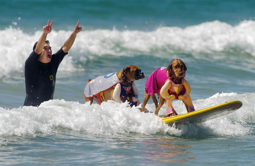 . Tandem dog surfing competitor Hanzo, center, catches a wave with Kalani as helper Bill Davis cheers them on during the 5th annual Surf City Surf Dog in Huntington Beach, Sunday, Sept. 29, 2013.  Fifty-two canines competed benefiting 6 charities. (AP Photo/The Orange County Register, Eugene Garcia)