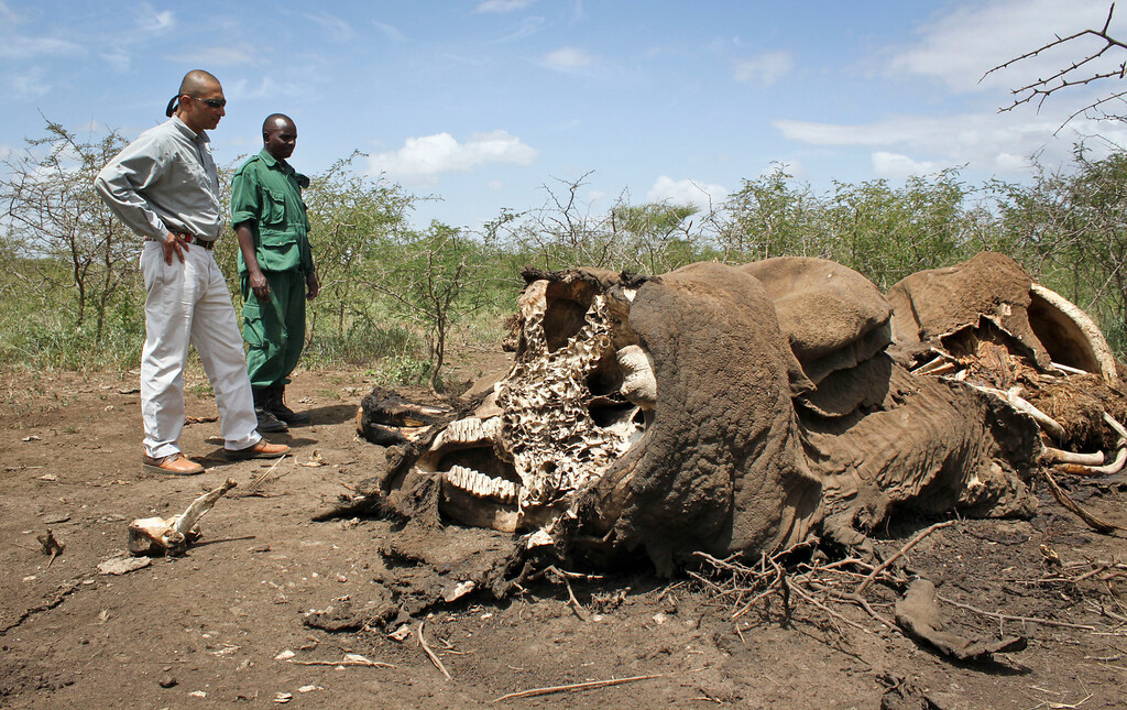 """. In this Wednesday, Feb. 13, 2013 photo, Pratik Patel, left, the owner of the tour company Safari Legacy, and a member of the Village Game Scouts, a security force made up of villagers trying to protect the animals on their community land, stand near an elephant killed by poachers outside Arusha, Tanzania. \""""Twenty-four elephants were shot within 10 square miles over the last three months. Thirty miles from here there are another 26 carcasses just outside Tarangire National Park,\"""" said Patel. \""""And this is just a teaser. If we go to southern Tanzania I can show you 70 carcasses in one day.\"""" (AP Photo/Jason Straziuso)"""