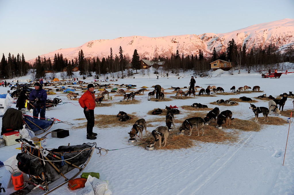 . Linwood Fiedler surveys his team at the Finger Lake checkpoint during the 2014 Iditarod Trail Sled Dog Race on Monday, March 3, 2014, near Wasilla, Alaska. (AP Photo/The Anchorage Daily News, Bob Hallinen)