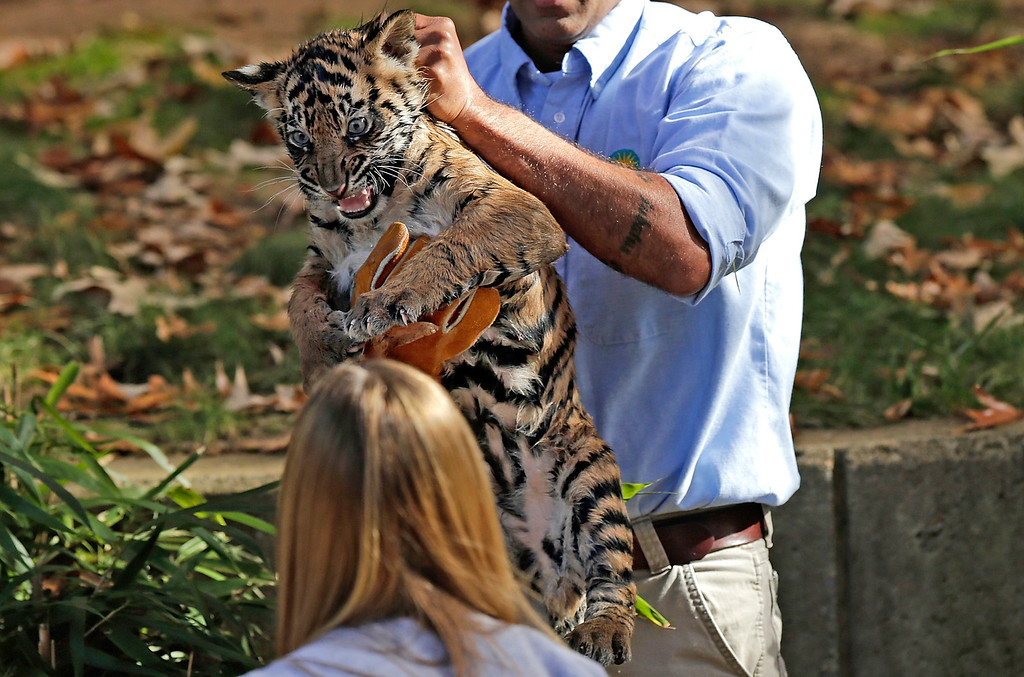". A male Sumatran Tiger cub named Bandar is carried by curator Craig Saffoe after the cub performed his ""swim test\"" in a moat of the Great Cats exhibit at the National Zoo November 6, 2013 in Washington, DC.  (Photo by Win McNamee/Getty Images)"