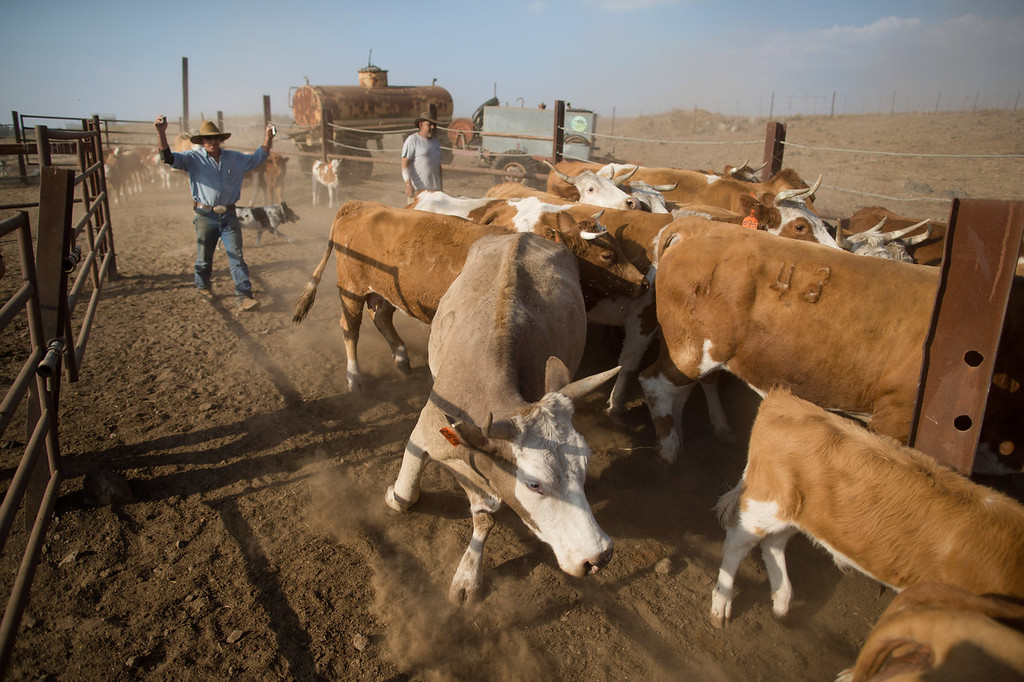 . Israeli cowboy Yechiel Alon drives his herd into a corral to receive vaccines, at the Merom Golan ranch on November 14, 2013 in the Israeli-annexed Golan Heights. Israeli cowboys have been growing beef cattle in ranches on the Golan Heights disputed strategic volcanic plateau for over 30 years, Land which is also used by the Israeli army as live-fire training zones. The disputed plateau was captured by Israel from the Syrians in the 1967 Six Day War and in 1981 the Jewish state annexed the territory.   (Photo by Uriel Sinai/Getty Images)