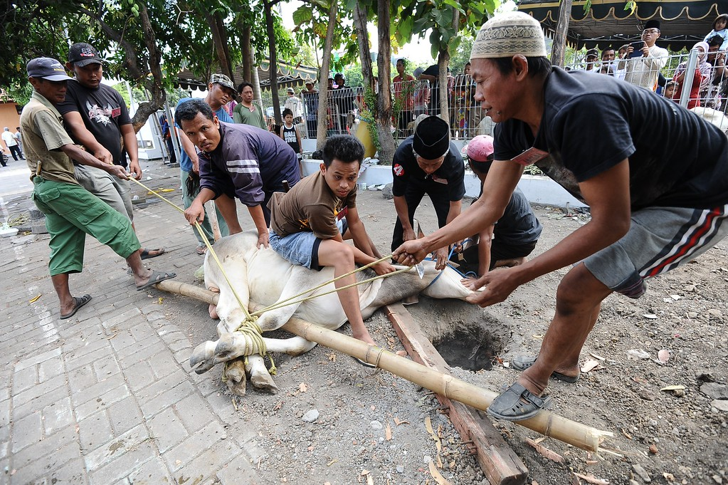 . Indonesian Muslims prepare to slaughter a cow as offering in Eid al-Adha on October 15, 2013 in Surabaya, Indonesia.  (Photo by Robertus Pudyanto/Getty Images)