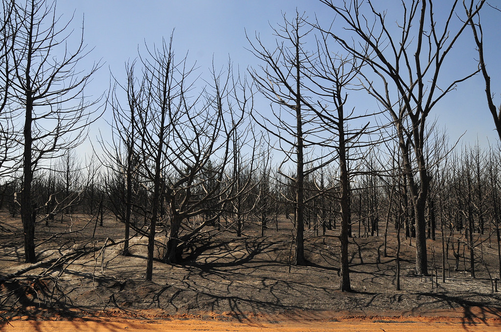 . A grove of trees that was destroyed by Sunday\'s wildfire is left on Monday, May 5, 2014, in Guthrie, Okla. Firefighters worked Monday to battle a large wildfire in central Oklahoma that destroyed at least six homes and left at least one person dead after a controlled burn spread out of control. (AP Photo/Nick Oxford)