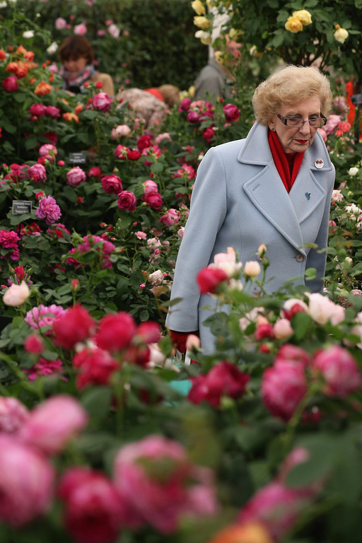 . A woman admires roses on display in The Great Pavilion at the RHS Chelsea Flower Show on May 21, 2013 in London, England. The Chelsea Flower Show run by the RHS celebrates its 100th birthday this year.  (Photo by Oli Scarff/Getty Images)