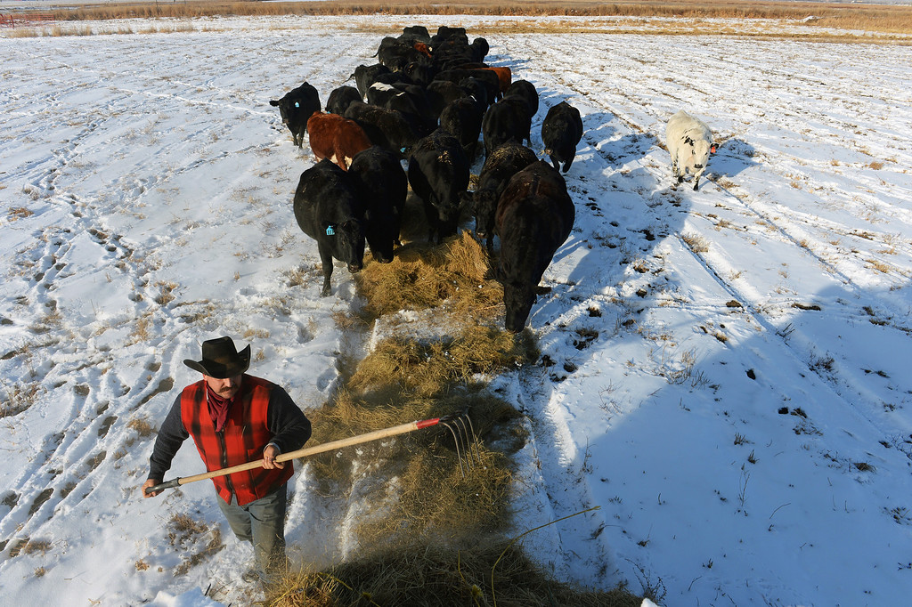. KERSEY, CO - JANUARY 8, 2014: Rancher Jon Flack feeds his cattle hay in a pasture he had to rent in Kersey, Co on January 8, 2014.  His pastures were too flooded to continue to graze his cattle on.  He is one of many ranchers that hasn\'t gotten much help from the government in helping to pay for expenses on his ranch incurred from the September floods. His losses included about  200 bales of hay worth about $30,000 which were destroyed when they were fully submerged in water.  As well many fences, fencing, corrals, ditches and land were severely damaged from the floods and need to be repaired.    (Photo By Helen H. Richardson/ The Denver Post)