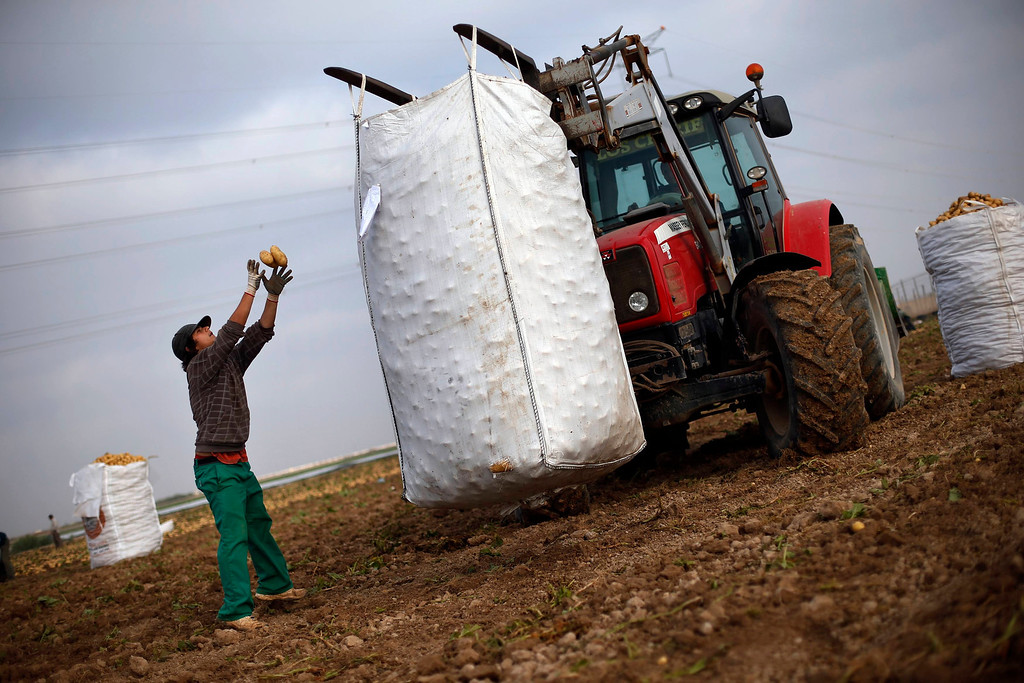 ". Day labourer Jorge Ibanez, 20, throws potatoes into a 1250-kg (2755 lbs) sack as he harvests potatoes in the southern Spanish region of Cartagena, Murcia, June 7, 2013. Ibanez quit school at the age of 16 to help pay the bills at home and did various different jobs before going back to complete his secondary education. Recently, he decided to start working as a day labourer. ""I know for sure this is not what I want to do for the rest of my life, but this is all I can find now,\"" he says. The majority of day labourers in the region come from Morocco and Ecuador, and it can be rare to see Spanish labourers in the fields. Nevertheless, as Spain wrestles with economic crisis and youth unemployment levels above 50 percent, some young Spaniards are starting to consider the kinds of jobs mostly performed by immigrants during the boom years.  Picture taken June 7, 2013. REUTERS/Susana Vera"