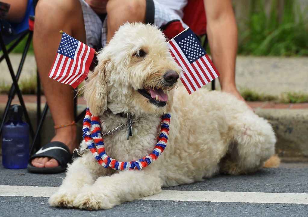 . A dog watches the Independence Day parade in Takoma Park, Maryland on July 4, 2013. Independence Day celebrates the declaration of independence from Britain in 1776. MANDEL NGAN/AFP/Getty Images