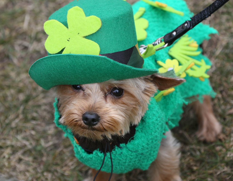 . Dog Mixie is dressed up in green for a St. Patrick\'s Day parade on the Irish national holiday in Berlin, Germany, Sunday, March 17, 2013. The parade was organized by the German-Irish community. (AP Photo/dpa,Stephanie Pilick)