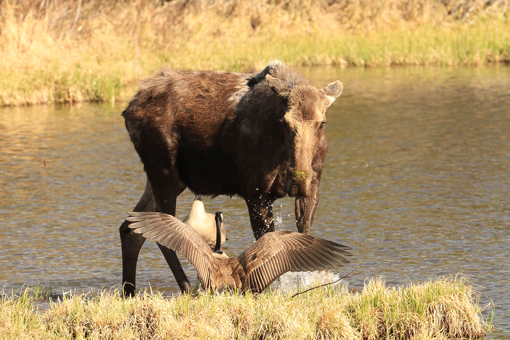 . A moose and goose have a standoff near a nest on the shores of Sprague Lake in Rocky Mountain National Park, spring 2014.  (Robert Burns / Special to the Trail-Gazette)