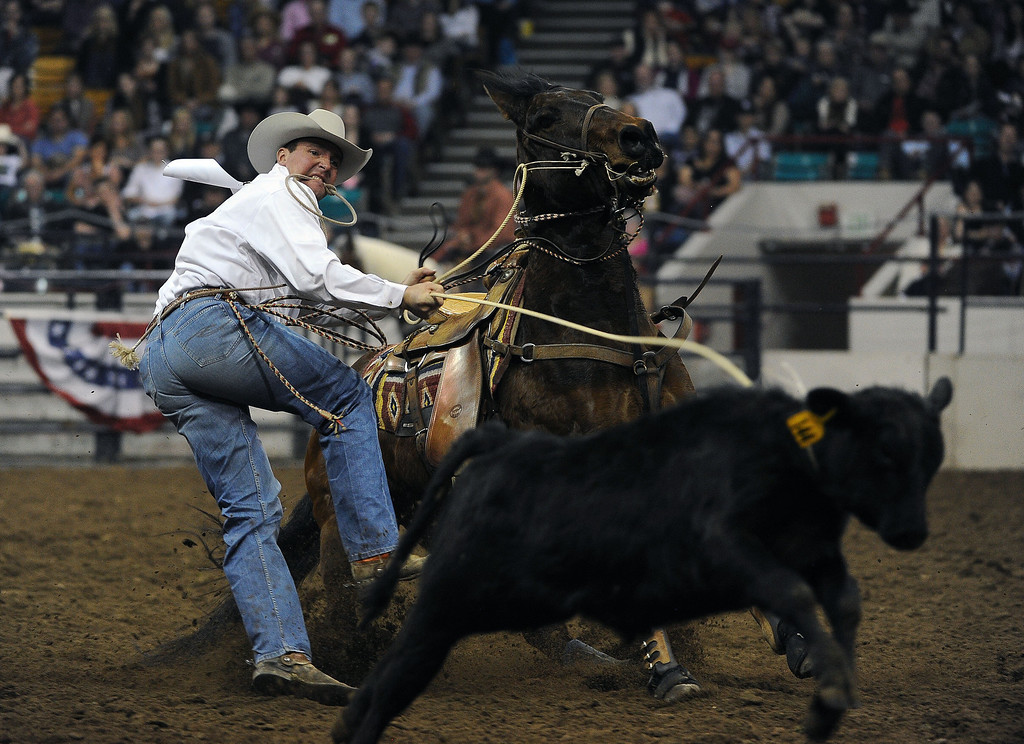 . DENVER, CO- JANUARY 27:   Jerome Schneeberger, of Ponca City, California gets ready to take down a calf during the tie down roping event in the rodeo.The final day of the 2013 National Western Stock show was Sunday, January 27th.  One of the big events for the day was the PRCA Pro Rodeo finals in the Coliseum.  The event featured bareback riding, steer wrestling, team roping, saddle bronc riding, tie down roping, barrel racing and bull riding.  (Photo By Helen H. Richardson/ The Denver Post)
