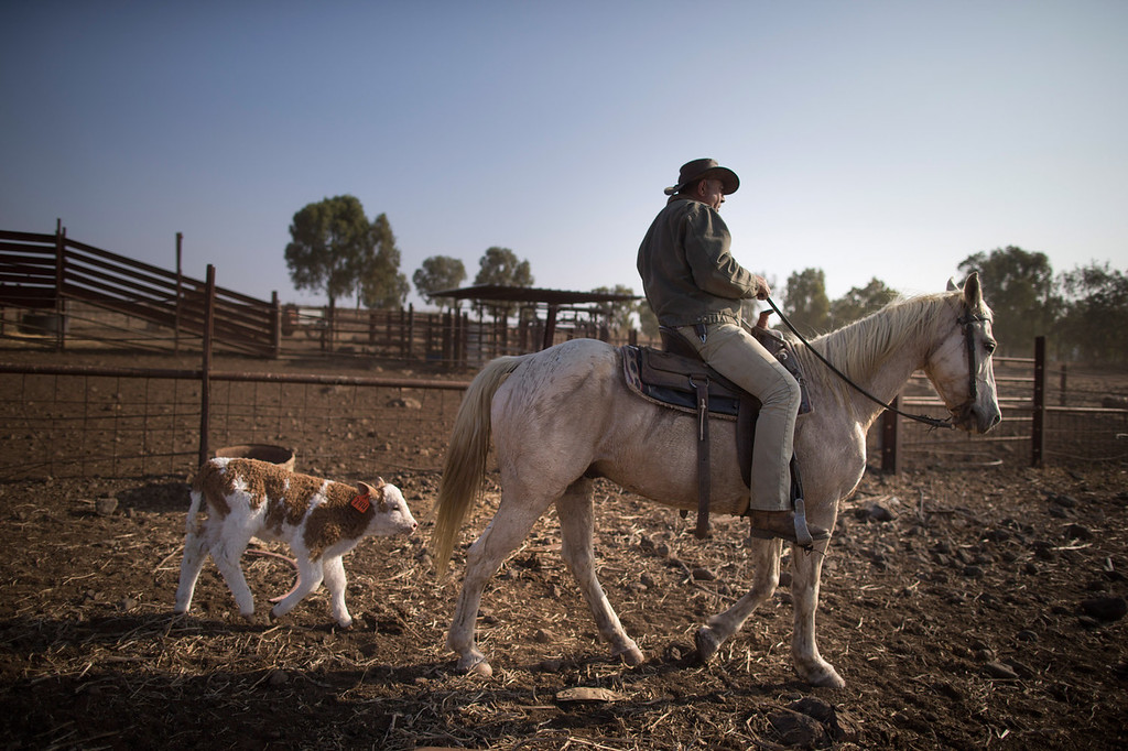 . Israeli cowboy Wafik Ajamy rides his horse back to the Merom Golan ranch on November 14, 2013 in the Israeli-annexed Golan Heights. Israeli cowboys have been growing beef cattle in ranches on the Golan Heights disputed strategic volcanic plateau for over 30 years, Land which is also used by the Israeli army as live-fire training zones. The disputed plateau was captured by Israel from the Syrians in the 1967 Six Day War and in 1981 the Jewish state annexed the territory.   (Photo by Uriel Sinai/Getty Images)