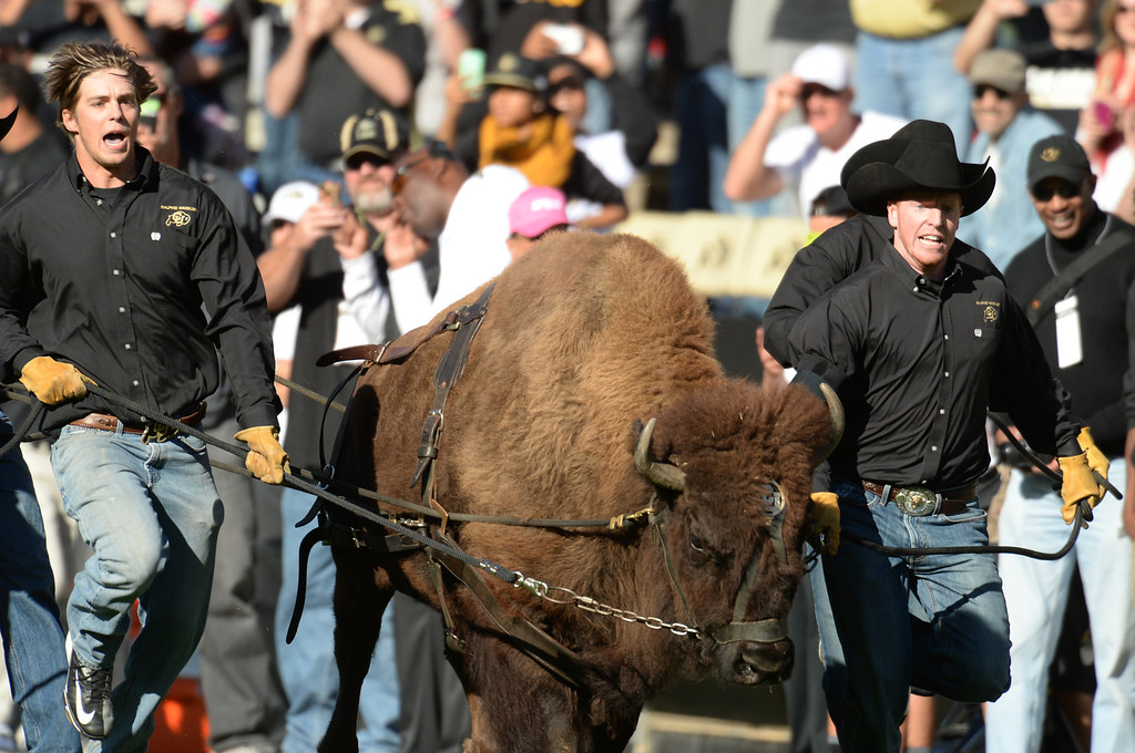 . Ralphie the Buffalo leads University of Colorado football team to the field for the game against University of Oregon at Folsom Field. Boulder, Colorado. October 5, 2013. (Photo by Hyoung Chang/The Denver Post)