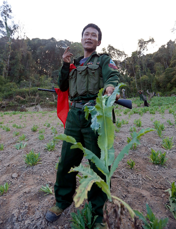 . A soldier of the Ta-ang National Liberation Army (TNLA), one of the ethnic rebel groups, showing a poppy plant as he destroyed a poppy field in Loi Mel Main village, Man Tone Township, Northern Shan State, Myanmar.   Last year, Myanmar produced an estimated 690 tons of opium, compared with 41 tons in Laos and 3 tons in Thailand, the three significant producers in South-East Asia. Myanmar was the world\'s largest source of opium and its derivative heroin in the early 1990s, but is now ranked second after Afghanistan. Myanmar\'s northern Shan State, home to several insurgencies including the Shan State Army and United Wa State Army, accounted for 92 per cent of opium poppy cultivation this year, with the remainder located in neighbouring Kachin State, where government troops and the Kachin Independence Army have been fighting since 2011, the report said.  EPA/NYEIN CHAN NAING