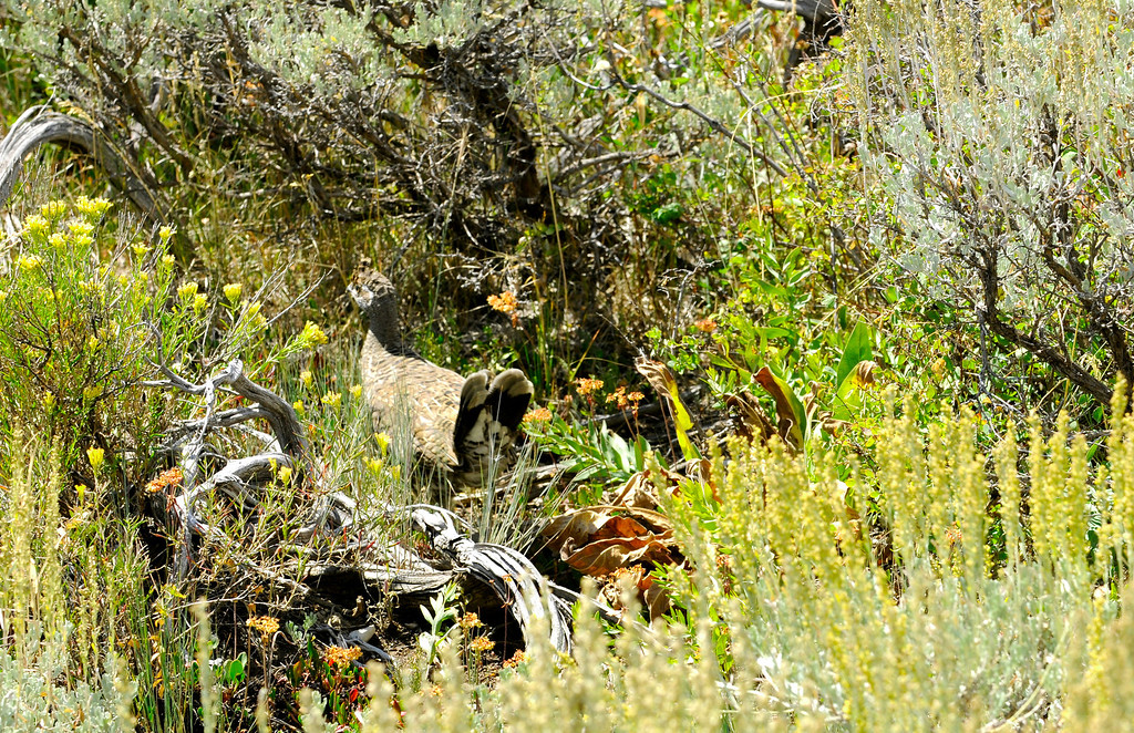 . The camouflage of a dusky grouse makes them hard to hunt even when they are walking in relatively sparse cover. Scott Willoughby, The Denver Post