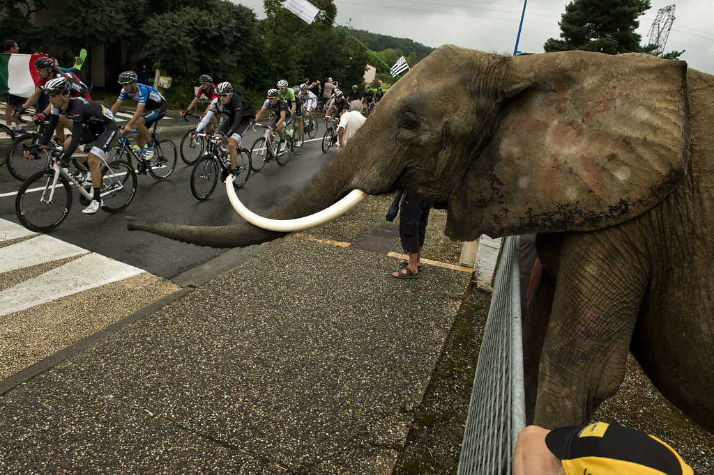 . An elephant is seen along the road as the pack rides past during the 208.5 km nineteenth stage of the 101st edition of the Tour de France cycling race on July 25, 2014 between Maubourguet Pays du Val d\'Adour and Bergerac, southwestern France.  AFP PHOTO / LIONEL  BONAVENTURE/AFP/Getty Images