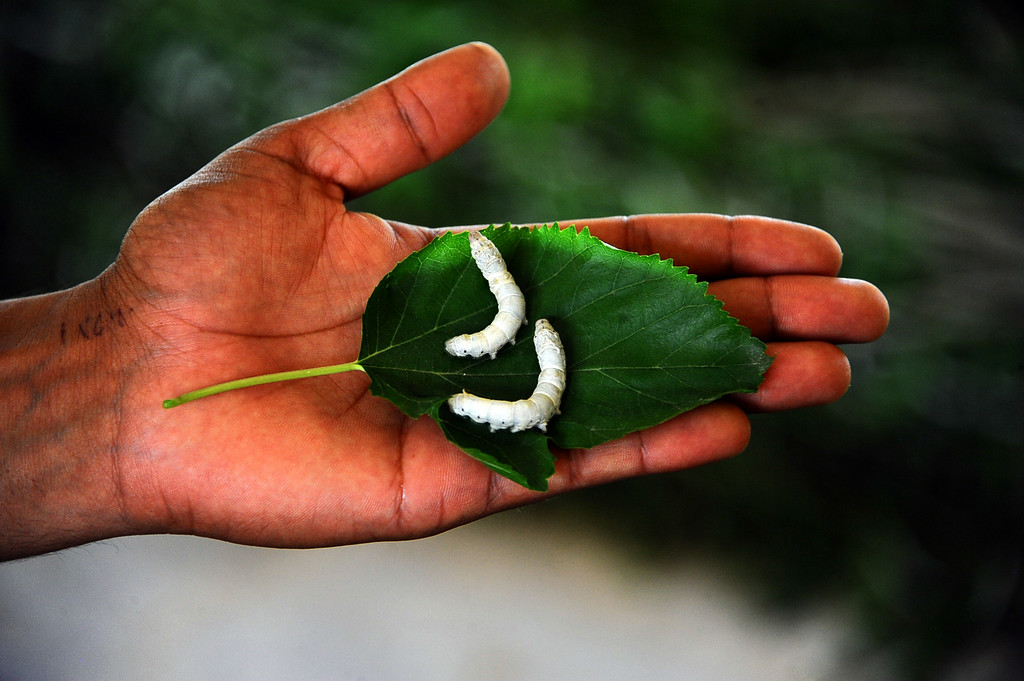 . In this photograph taken on May 13, 2014, an Afghan farmer displays silkworms on a mulberry leaf in Zandajan district of Herat province.  AFP PHOTO/Aref Karimi/AFP/Getty Images