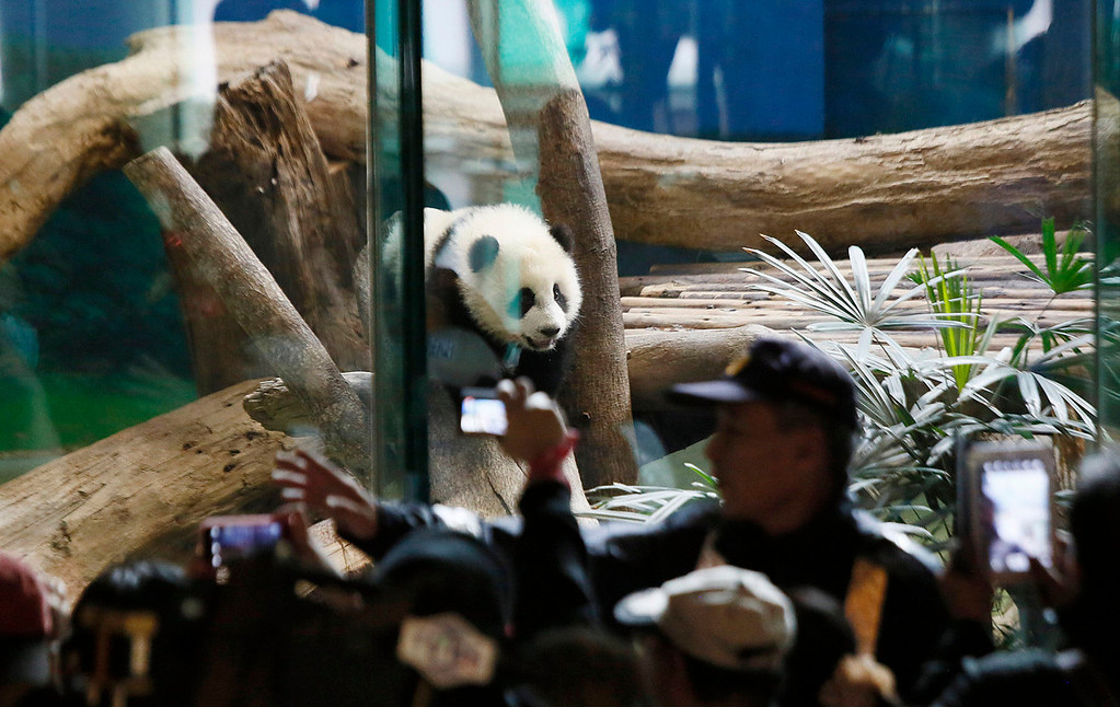 . Security guards hold back crowds viewing Taiwan\'s six-month-old panda cub Yuan Zai during her first public display at the Taipei Zoo in Taipei, Taiwan, Monday, Jan. 6, 2014. The panda cub, whose parents were gifts from China to Taiwan in 2008, was unveiled to her adoring public Monday, as long lines of boys and girls and children of all ages queued up at the zoo to see the cub cavorting around her enclosure. (AP Photo/Wally Santana)