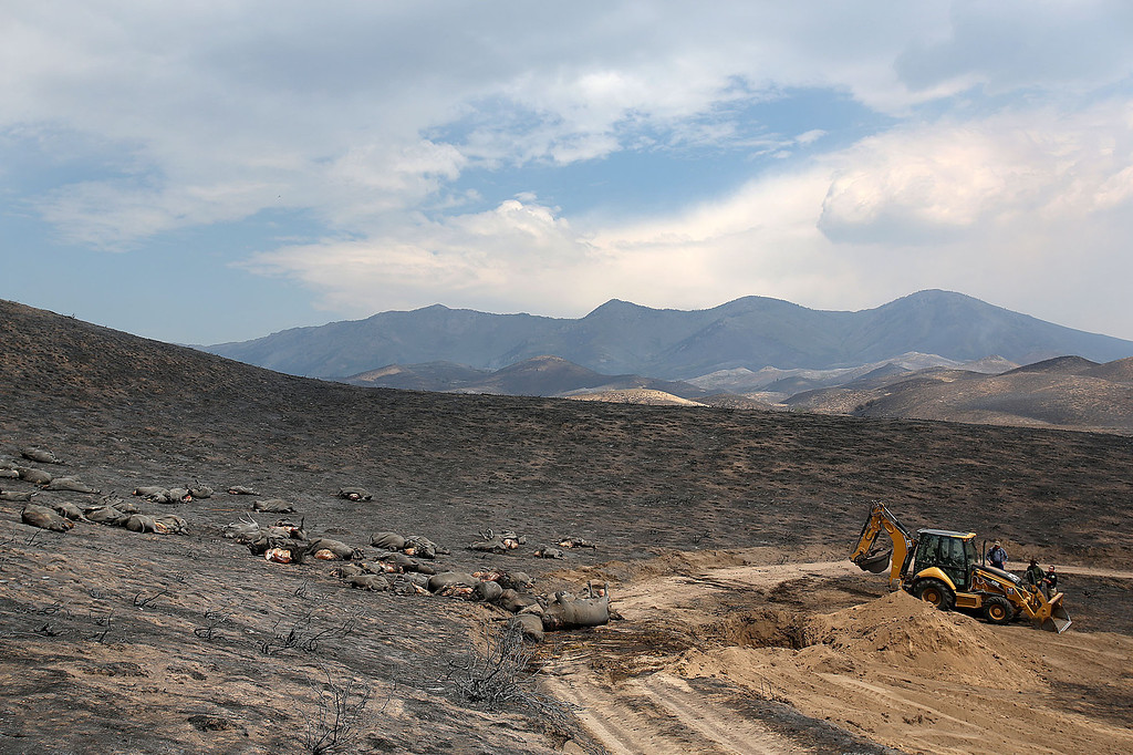 . In this Aug. 13, 2013 photo, a backhoe is used to burry some of the 100 cattle Bill Corlett lost during an Aug. 8 wildfire northwest of Fairfield, Idaho. Corlett\'s home and other structures were destroyed during the blaze.  (AP Photo/The Times-News, Ashley Smith)