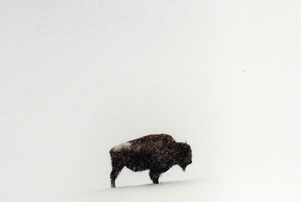 . GENESEE, CO-April 23, 2013: Snow continues to fall in Genesee Park on a buffalo stand in a field of fresh snow, April 23, 2013. Year ago Denver created the bison park as a tourist attraction along Interstate 70. The bison were originally sourced from Yellowstone National Park, and are considered one of the country\'s wildest herds. (Photo By RJ Sangosti/The Denver Post)