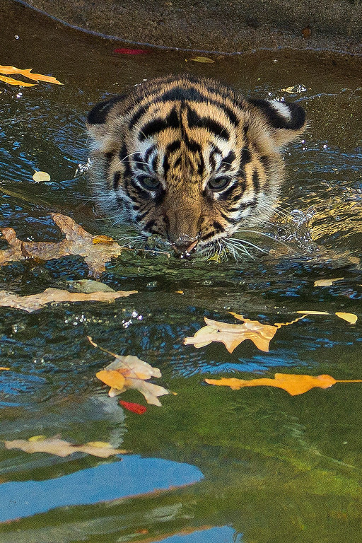 ". A three-month-old Sumatran tiger cub named ""Sukacita\"" paddles across the tiger exhibit moat during her swim reliability test at the National Zoo in Washington, Wednesday, Nov. 6, 2013. (AP Photo/Manuel Balce Ceneta)"