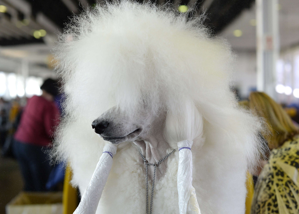 . A Standard Poodle in the benching area at Pier 92 and 94 in New York City  for the first day of competition  at the 138th Annual Westminster Kennel Club Dog Show February 10, 2014. The Westminster Kennel Club Dog Show is a two-day, all-breed benched  show that takes place at both Pier 92 and 94 and at Madison Square Garden in New York City .    TIMOTHY CLARY/AFP/Getty Images