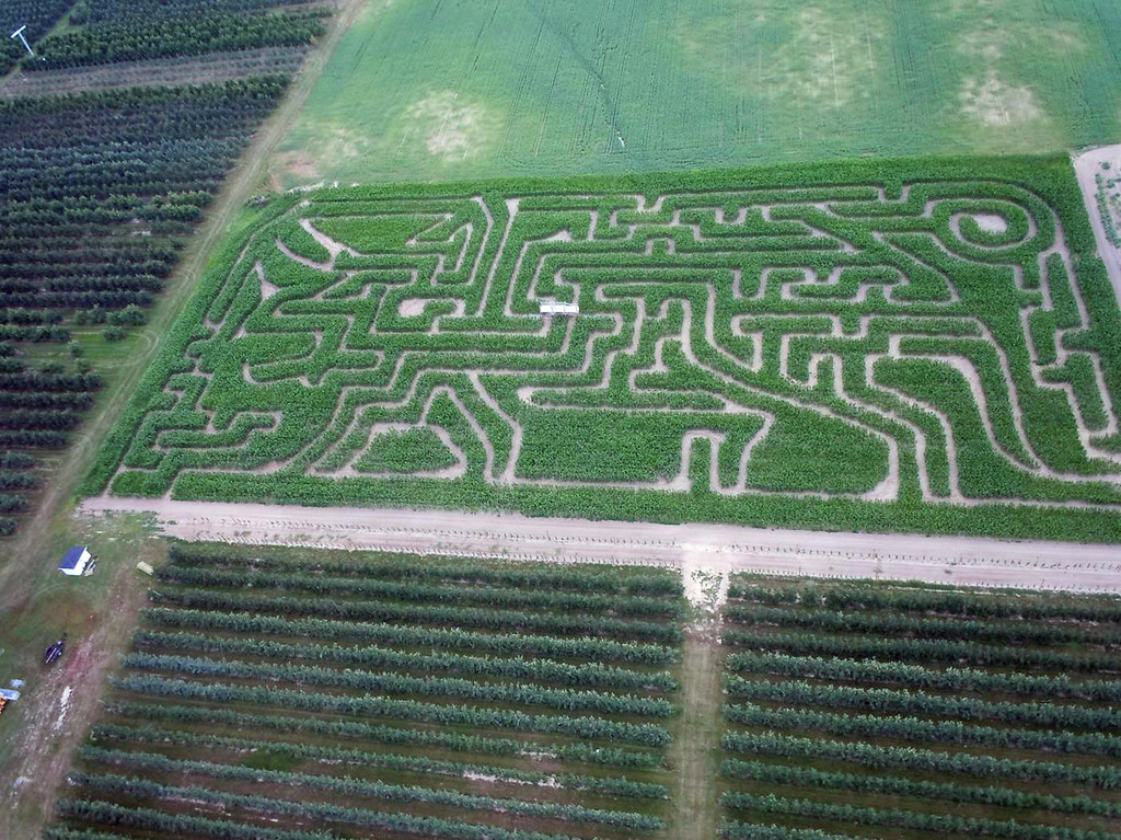 . This 2013 photo provided by Maize Quest shows their triceratops dinosaur maze at Schwailler\'s Country Basket farm in Sparta, Mich. (AP Photo/Maize Quest)