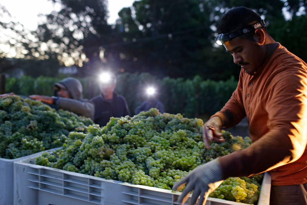 . Alfredo Lopez, right, sorts Sauvignon Blanc grapes after they were picked at Ehlers Estate winery Wednesday morning, Aug. 28, 2013 in St. Helena, Calif. Harvest is underway in the Napa Valley with the picking of grapes for white and sparkling wine. (AP Photo/Eric Risberg)