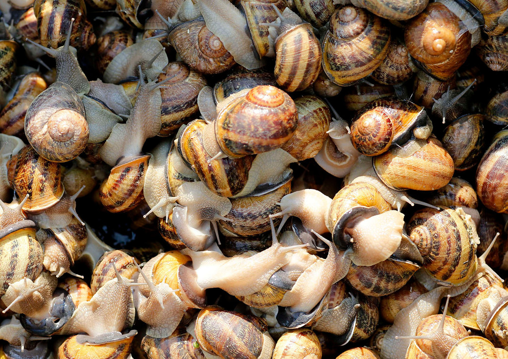 . Snails (Helix Aspersa) sit in a basket in a farm in Vienna July 10, 2013. Andreas Gugumuck owns Vienna\'s largest snail farm, exporting snails, snail-caviar and snail-liver all over the world. The gourmet snails are processed using old traditional cooking techniques and some are sold locally to Austrian gourmet restaurants. Picture taken July 10, 2013.   REUTERS/Leonhard Foeger
