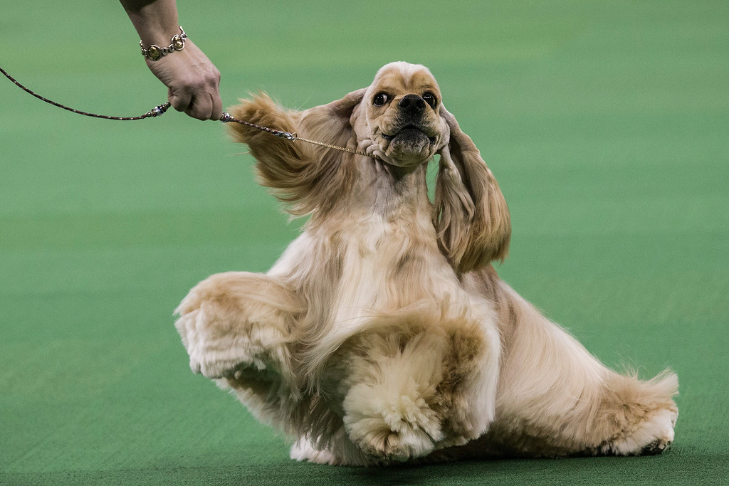 . An Ascotb Cocker Spaniel competes in the Westminster Dog Show on February 11, 2014 in New York City. The annual dog show has been showcasing the best dogs from around world for the last two days in New York.  (Photo by Andrew Burton/Getty Images)