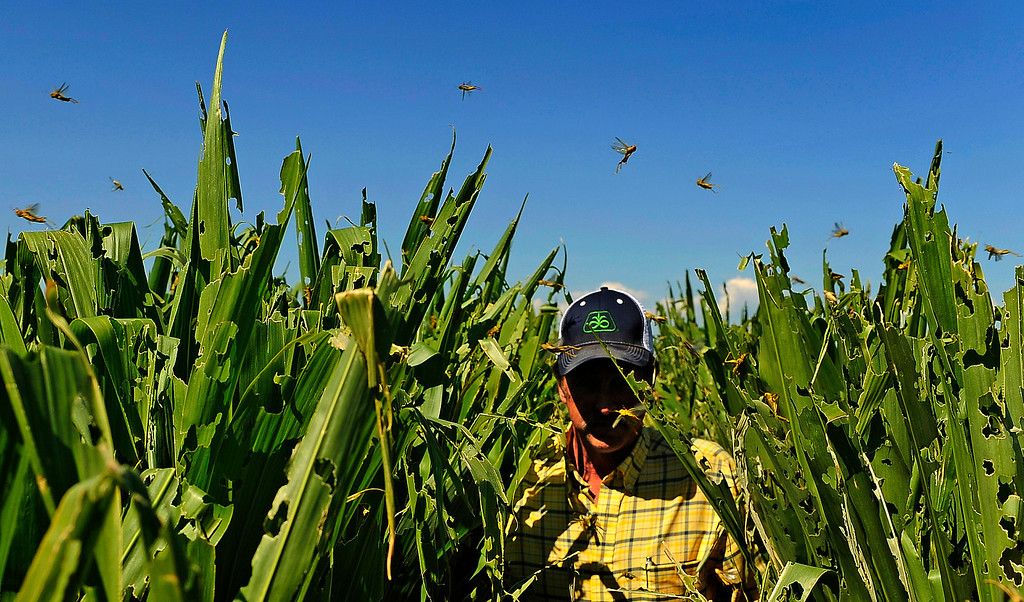 . Farmer Harry Strohauer walks in his corn fields, Thursday July 19, 2012, near Lasalle, Colo., that are damaged from thousands of grasshoppers and drought.
