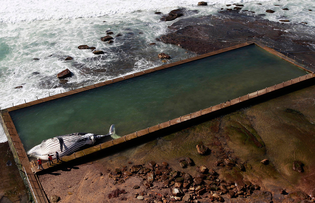 . Police and wildlife rangers stand next to a dead humpback whale lying in a rock pool at Newport beach in Sydney August 1, 2012. Residents of Newport, a popular surfing beach in Sydney, woke to find the corpse of a 30-tonne humpback whale washed up in an ocean swimming pool on Wednesday, according to local media. REUTERS/Daniel Munoz