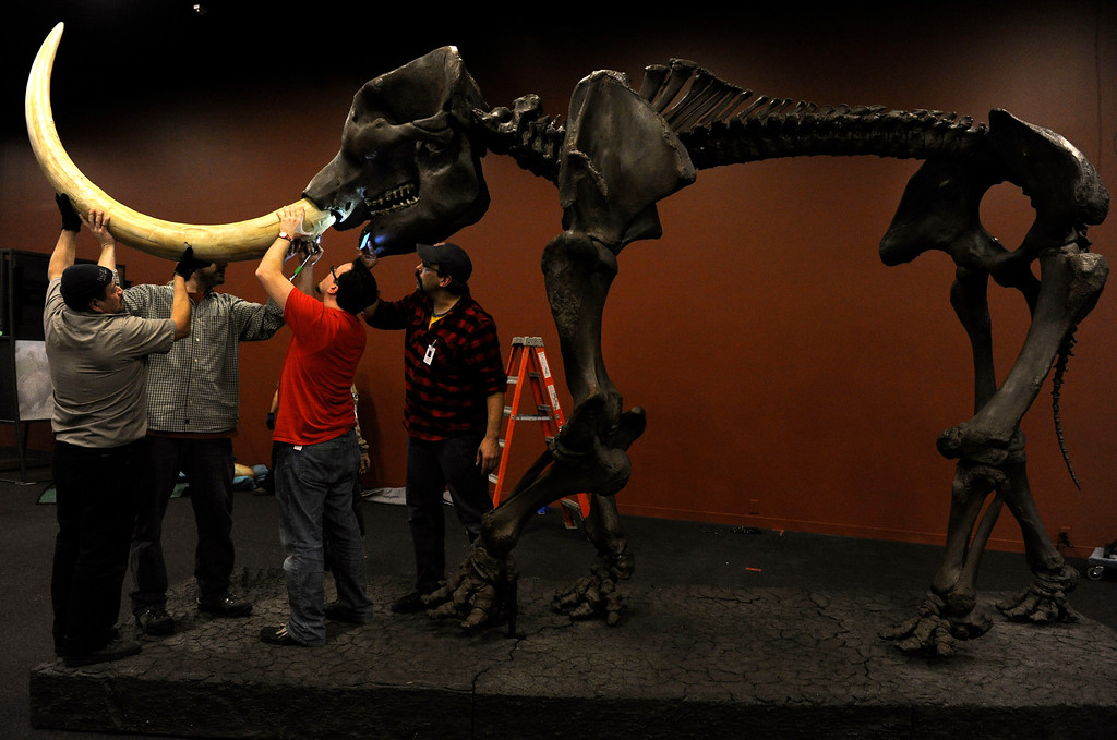 . A crew of workers at the Denver Museum of Nature and Science begin the process of piecing together life-size replicas of Ice Age mammals, including this 10-foot tall American mastodon for the upcoming exhibit Mammoths and Mastodons: Titans of the Ice Age. This mastodon will be in an area of the exhibit that will include some of the big finds from the Snowmass Village discoveries which will for the first time be on public display. The exhibit, on tour from The Field Museum in Chicago runs from Feb. 15-May 27, 2013 and tickets will go on sale Feb. 1, 2013. (Photo By Kathryn Scott Osler / The Denver Post)