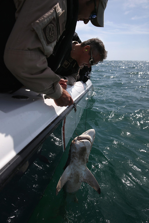 . PORT ISABEL, TX - APRIL 12:  Marine interdiction agents from the U.S. Office of Air and Marine (OAM) cut a dead shark loose from an illegal fishing line while on a patrol in the Gulf of Mexico on April 12, 2013 near Port Isabel, Texas. OAM units patrol coastline waters near the U.S.-Mexico border searching for drug smugglers as well as illegal immigrants, which come across from Mexico near the mouth of the Rio Grande River. Their Midnight Express interceptor is a 39 foot 900 horsepower craft capable of chasing smugglers down at 55 knots (63 mph). OAM patrols also push back illegal fishing boats out of U.S. waters. (Photo by John Moore/Getty Images)