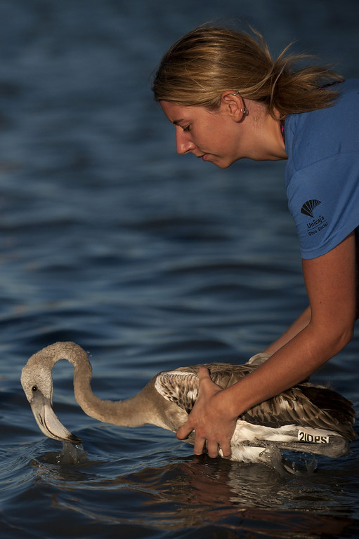 . A volunteer releases a flamingo chick at the Fuente de Piedra lake, 70 kilometres from Malaga, on August 10, 2013, during a tagging and control operation of flamingo chicks to monitor the evolution of the species. The lake, which is the most important breeding ground for flamingos in the Iberian Peninsula, is also a nature reserve and a haven for birds with over 170 different species recorded.  Jorge Guerrero/AFP/Getty Images