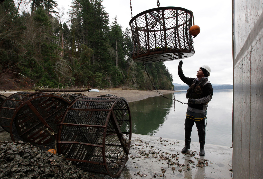 . In this Dec. 8, 2011 file photo, Dammon Saunders, a deckhand with Taylor Shellfish Farms, reaches for a container as he transplants Totten Virginica oysters, on the waters of Oyster Bay in the Totten Inlet near Shelton, Wash.  Oyster growers in Washington state are among those observing climate-related changes that are outside of recent experience, according to the National Climate Assessment report released Tuesday, May 6, 2014.  (AP Photo/Ted S. Warren, File)