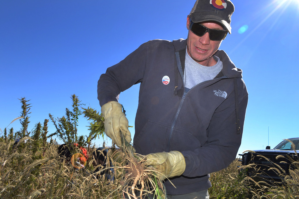 . In this Oct. 5, 2013 photo, Colorado farmer Ryan Loflin harvests hemp on his farm in Springfield, Colo. Emboldened by voters in Colorado and Washington in 2012 giving the green light to both marijuana and industrial hemp production, Loflin planted 55 acres of several varieties of hemp alongside his typical alfalfa and wheat crops. (AP Photo/P. Solomon Banda)