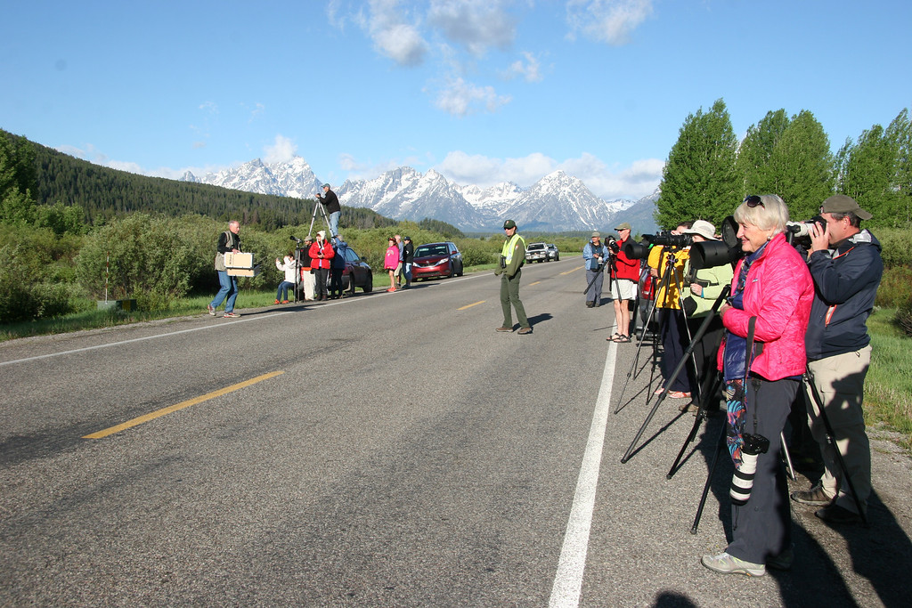 """. What is commonly known as a \""""bear jam,\"""" people intent on getting their eyes and lenses on the grizzlies being seen more and more often in the Jackson Hole area, as here near Jackson Lake in Grand Teton National Park. In the center is Kate Wilmot, bear manager specialist for the park, in charge of making sure everyone maintains a safe distance."""