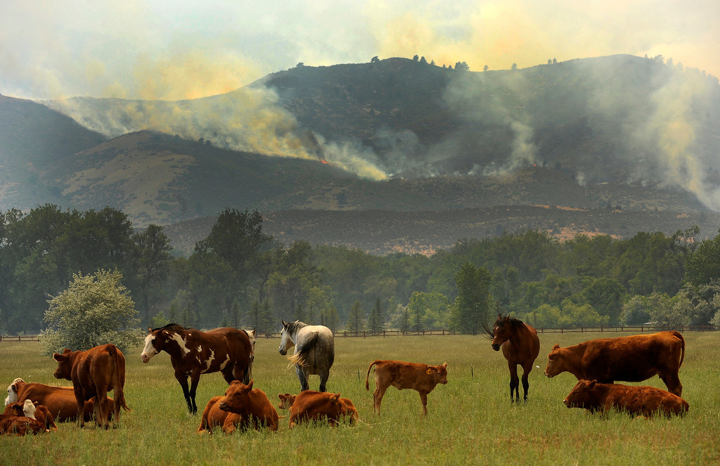 . Horses and cows look towards the fire just off of Highway 287 west of Laporte. The High Park fire northwest of Fort Collins continues to burn today June 10th, 2012.  The fire is now estimated at over 14,000 acres and still zero percent containment. Helen H. Richardson, The Denver Post