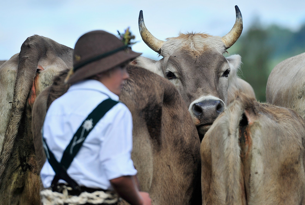 . Cows stand behind a young alpine cattle herder as he escorts the cows down into the valley during the annual Viehscheid cattle drive on September 11, 2013 near Bad Hindelang, Germany.   (Photo by Lennart Preiss/Getty Images)