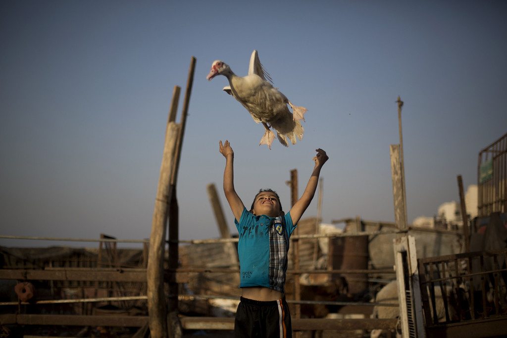 . A Palestinian boy plays with a duck near the house of Palestinian prisoner Omar Massud\'s family, held by Israel since 1993, prior to his release in Gaza City on October 29, 2013. Israel is preparing to release 26 long-serving Palestinian prisoners, the second batch of 104 inmates who are to be freed in line with commitments to US-brokered peace talks.  MOHAMMED ABED/AFP/Getty Images