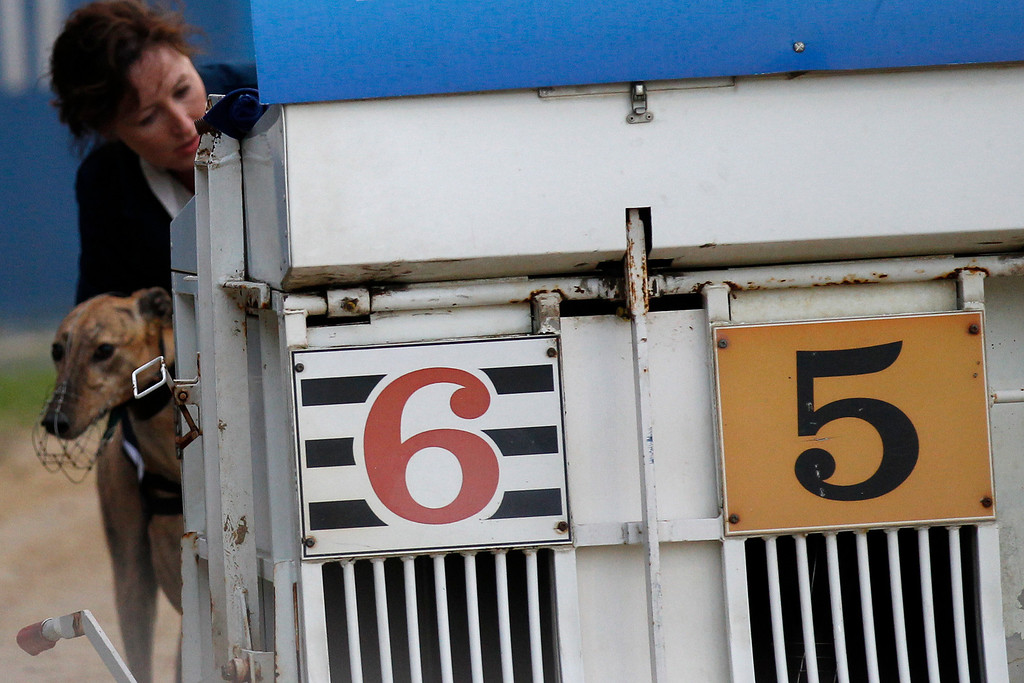 . A greyhound is coaxed into a gate by a trainer before a race at Wimbledon Stadium in London May 28, 2011. Dog racing was once highly popular with 80 licensed greyhound tracks in Britain governed by the self-regulating Greyhound Board of Great Britain (GBGB) but this has fallen to about 26 although there are some unregulated racetracks too. Picture taken May 28, 2011. REUTERS/Chris Helgren