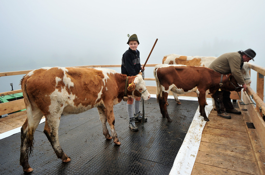 . SCHOENAU AM KOENIGSSEE, GERMANY - OCTOBER 05:  Bavarian herdsmen drive their cattle on a boat that carries them across Koenigssee Lake during the traditional cattle drive (in German: Almabtrieb, or Viehscheid) on October 5, 2013 near Schoenau am Koenigssee, Germany. Every fall herders across the European alpine regions return cattle that spent the summer on alpine meadows to farmers in the valley villages. Many villages celebrate the return with folk dancing and other customs and adorn the lead animal with a garland if all of the animals survived the summer.  (Photo by Lennart Preiss/Getty Images)