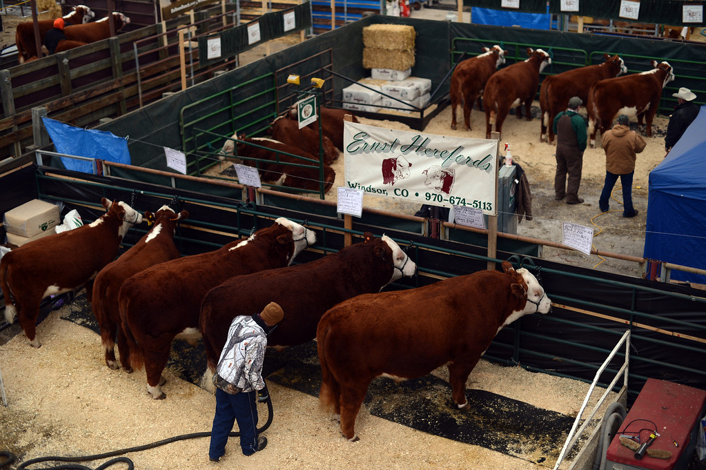 . Bulls from Ernst Herefords, Windsor, CO. are cleaned at the stock yard for 2013 National Western Stock Show on Tuesday. Denver. CO, January 15, 2013.  Hyoung Chang, The Denver Post