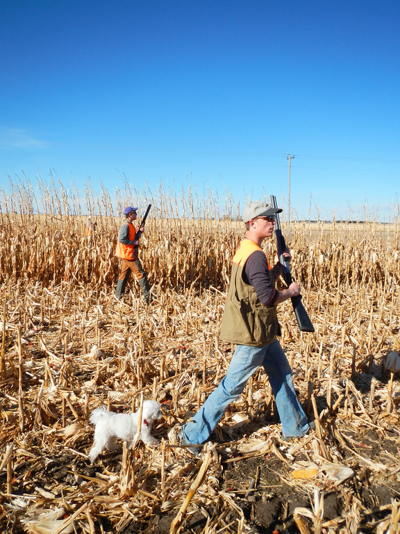. Apple the Maltese gets in on the action of opening day of pheasant season, Saturday, November 9, 2013 stalking the field on the heels of Jake O\'Neal and his cousin Denton near Holyoke. Scott Willoughby, The Denver Post