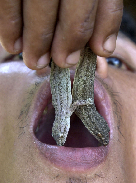 . Thai farm employee Somsak Inta, 36, puts two house lizards in his mouth prior to eating them in Nakorn Nayok province, 60 kilometres away from Bangkok April 9. Somsak started eating lizards when was 16 as a means to treat health problems, which he claims could not be cured by modern medicine. He has since been eating lizards for over 20 years, believing, among other things, it increases his sex drive. Reuters
