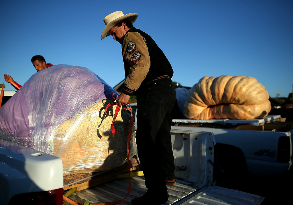 . Leonardo Urena uncovers his giant pumpkin during the 40th Annual Safeway World Championship Pumpkin Weigh-Off on October 14, 2013 in Half Moon Bay, California.  (Photo by Justin Sullivan/Getty Images)